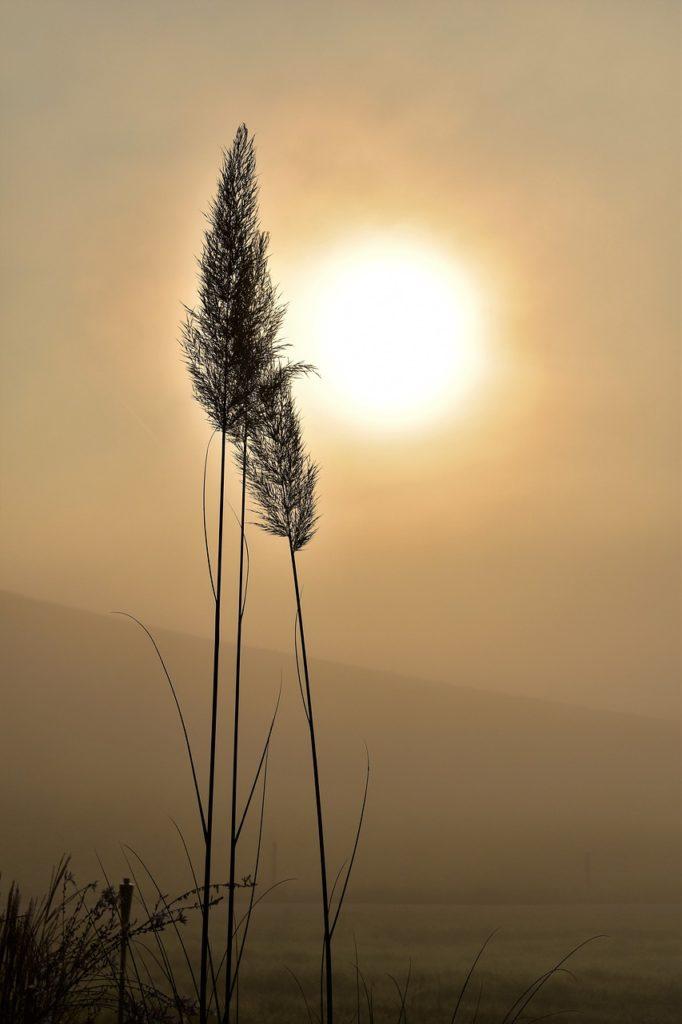 grass, grasses, backlighting